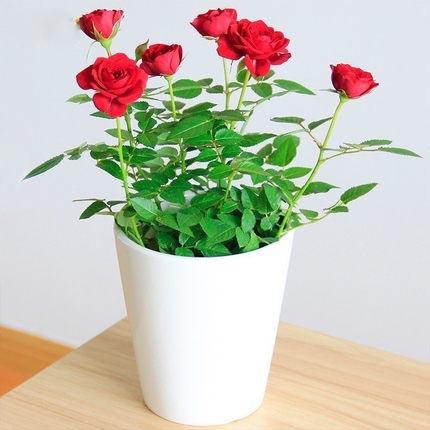 月季蔷薇盆栽微型桌面 庭院阳台室内花卉植物小花卉