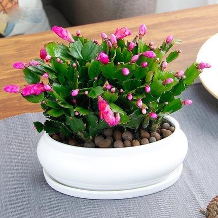 蟹爪兰年宵花卉年大苗盆栽 带根带花苞带盆桌面阳台防辐射