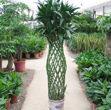 富贵竹笼盆栽办公室植物好养吸甲醛绿植花卉
