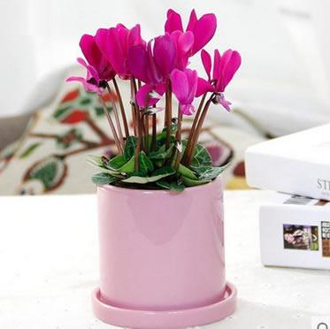仙客来盆栽报春花 庭阳台室内盆栽 四季易种观花芳香花卉