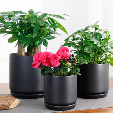 绿萝盆栽幸福树鸭脚木豆瓣绿小虎皮兰杜鹃花发财树陶瓷盆