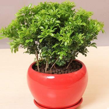 米兰盆栽室内开花植物 清香驱蚊绿植