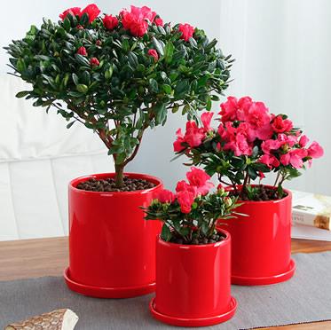 杜鹃花盆栽年花室内客厅办公室桌面绿植真花阳台四季开花
