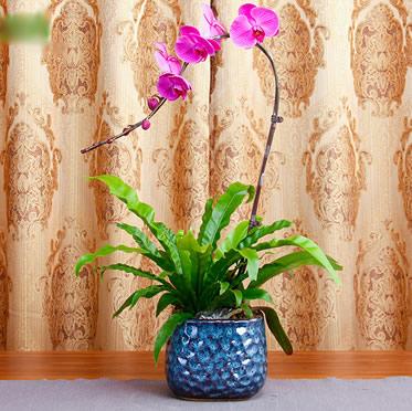 紫色A级蝴蝶兰盆栽 花卉精品兰花送礼