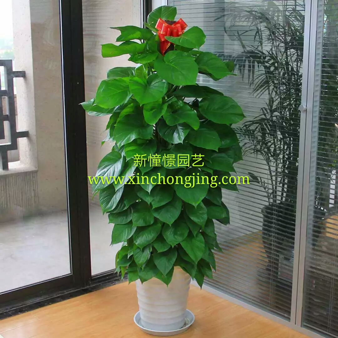 长沙花卉租摆——绿植租摆-办公楼摆花-绿萝柱