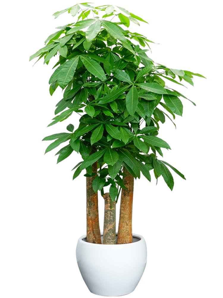 长沙花卉租摆——绿植租摆-办公楼摆花-三杆发财树大型植物盆栽乔迁送礼花卉